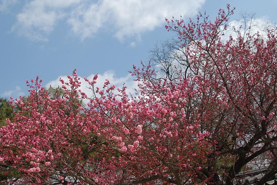 Prunus mume1.JPG
