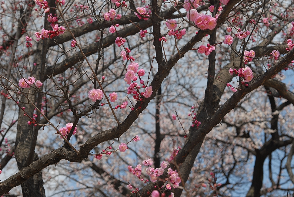 Prunus mume2.JPG